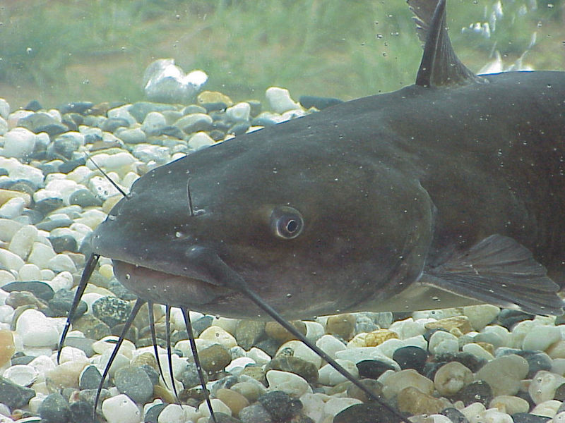 The Noble Catfish